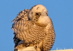 Snowy Owl Hedwig Preening -2 copyright Kim Smith