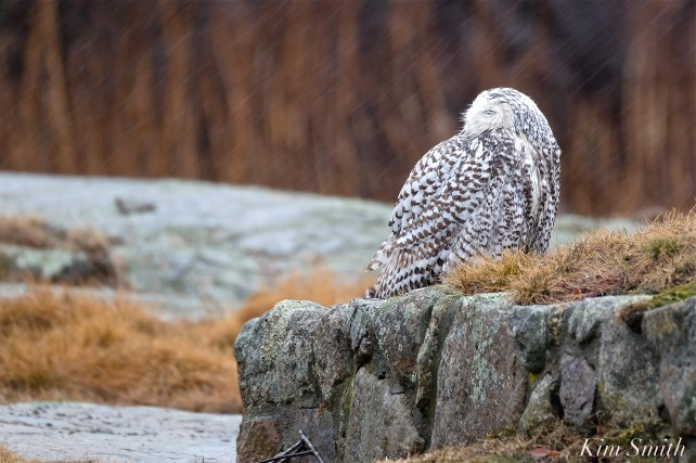 Snowy Owl Hedwig Sleeping in the Rain -2 copyright Kim Smith copy