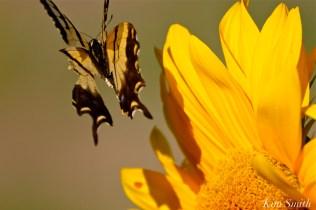 cedar-rock-gardens-sunflowers-tiger-swallowtail-gloucester-ma-copyright-kim-smith-1
