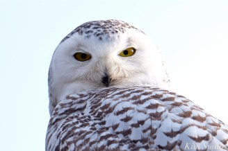 Snowy Owl female Hedwig Gloucester MA May 1, 2018 -3 copyright Kim Smith
