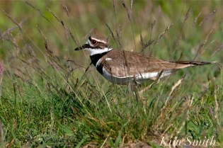 Killdeer Plover -72 Good Harbor Beach Gloucester MA copyright Kim Smith