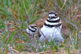 Killdeer Plover Chick Good Harbor Beach Gloucester MA -20 copyright Kim Smith