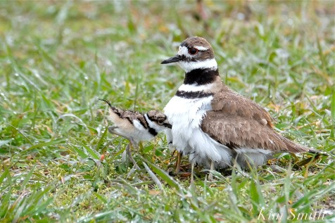 Killdeer Plover Chick Good Harbor Beach Gloucester MA copyright Kim Smith