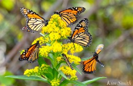 Monarch Butterflies Seasdie Goldenrod copyright Kim Smith