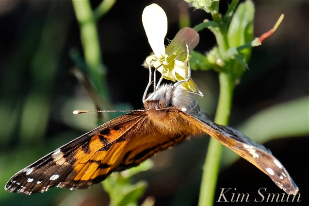 American Lady Butterfly Black Mustard copyright Kim Smith - 13
