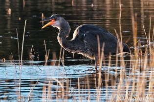 Grand Heron of the Great Marsh - Great Blue Heron copyright Kim Smith - 38