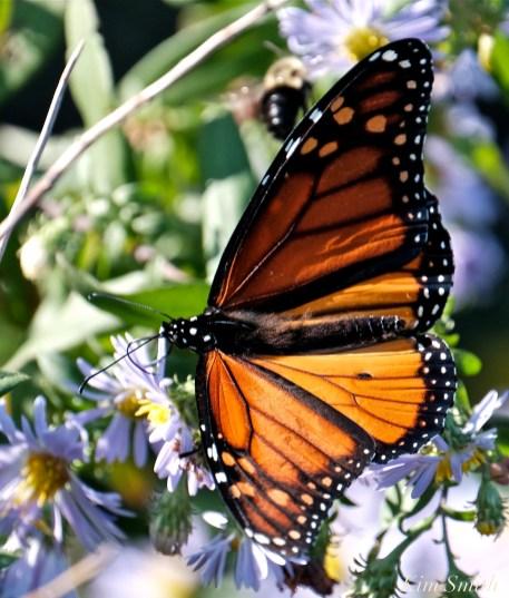October Monarch Butterflies copyright Kim Smith - 12