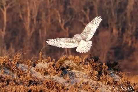 Snowy Owl Bubo scandiacus December -11 copyright Kim Smith