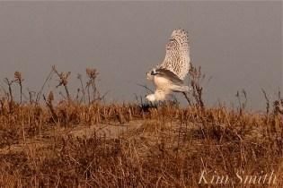 Snowy Owl Bubo scandiacus December -16 copyright Kim Smith
