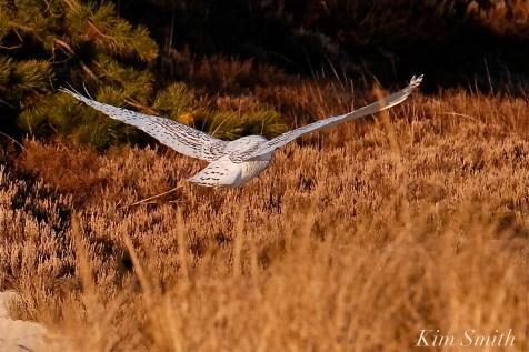Snowy Owl Bubo scandiacus December -8 copyright Kim Smith