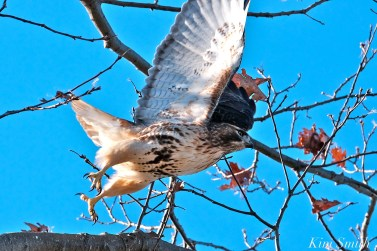 Red-tailed Hawk Gloucester Massachusetts -4 copyright Kim Smith