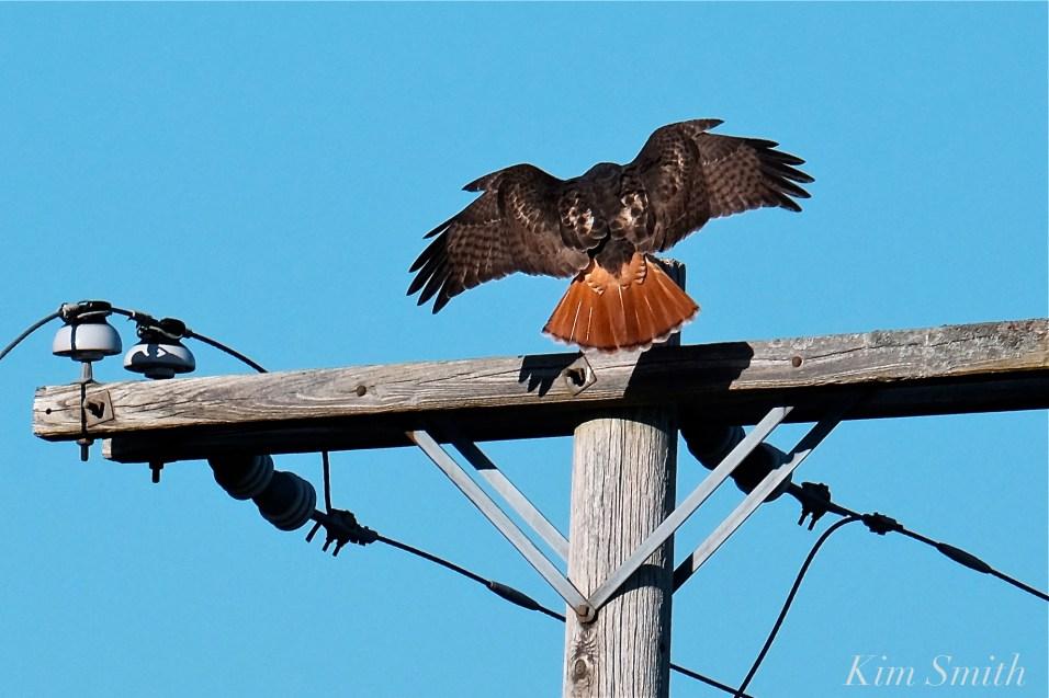 Red-tailed Hawk Gloucester Massachusetts-8 copyright Kim Smith