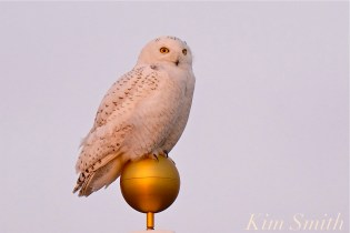 Snowy Owl Bubo scandiacus Massachusetts -22 copyright Kim Smith