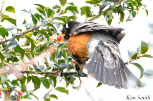 american robin eating holly berry snow gloucester massachusetts -11 turdus migratorius 1-21-2019 copyright kim smith