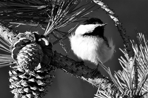 black-capped chickadee pine dunes crane beach copyright kim smith