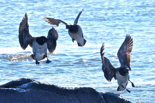 brant-geese-atlantic-ocean-gloucester-ma-6-copyright-kim-smith
