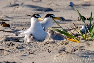 least-tern-one-day-old-chicks-adults-male-female-copyright-kim-smith