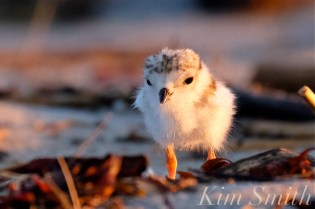 piping-plover-chick-five-days-old-good-harbor-beach-copyright-kim-smith