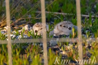 piping-plover-chicks-good-harbor-beach-parking-lot-9