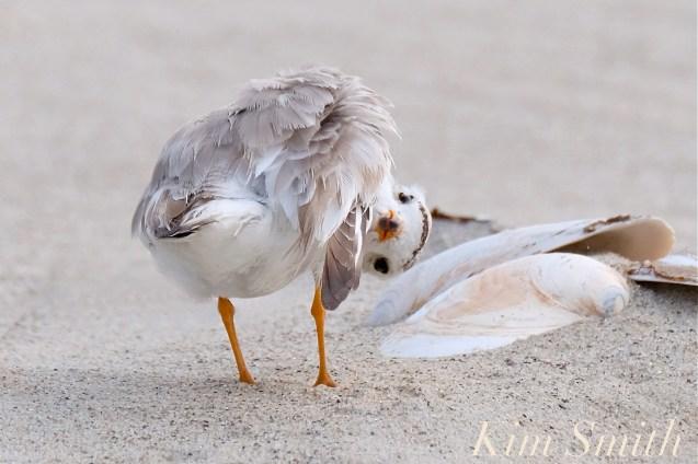 piping-plover-fuuny-copyright-kim-smith