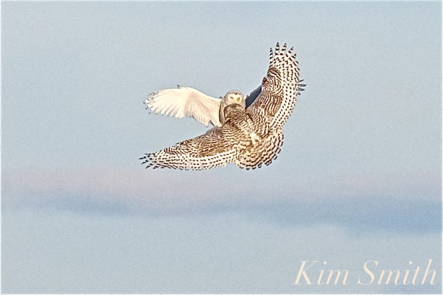 snowy-owl-female-male-fight-2-gloucester-ma-copyright-kim-smith