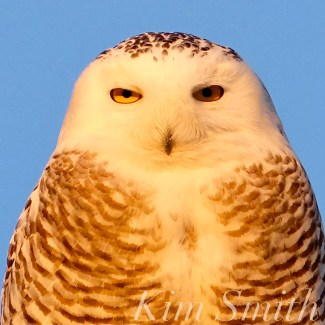 snowy-owl-hedwig-female-gloucester-ma-5-copyright-kim-smith1