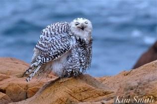 snowy-owl-taking-a-bath-hedwig-gloucester-ma-42-copyright-kim-smith