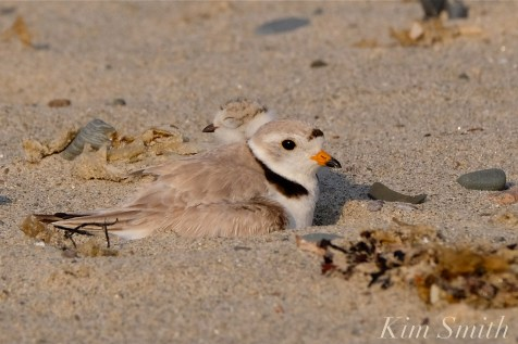 Piping Plover chick and adult copyright Kim Smith