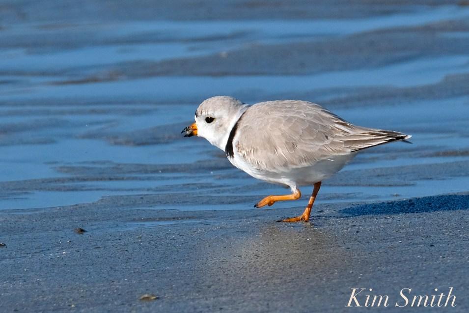Piping Plovers Good Harbor Beach Gloucester Massachusetts copyright Kim Smith - 02