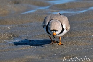 Piping Plovers Good Harbor Beach Gloucester Massachusetts copyright Kim Smith - 04