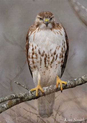 Red-tailed Hawk juvenile one year old -6 copyright Kim Smith