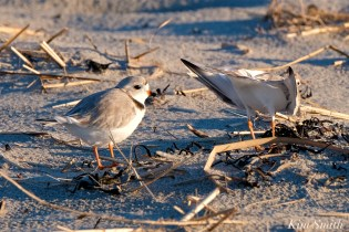 Piping Plover Courtship Good Harbor Beach copyright Kim Smith - 05