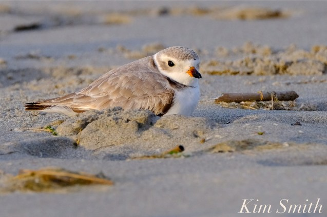 Piping PLover Female GHB 4-25-19 copyright Kim Smith