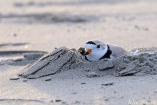 Piping Plover Male Papa GHB Gloucester copyright Kim Smith