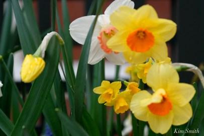 Daffodils Kendall Hotel Cambridge Massachusetts copyright Kim Smith - 04