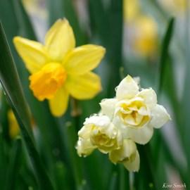 Daffodils Kendall Hotel Cambridge Massachusetts copyright Kim Smith - 08