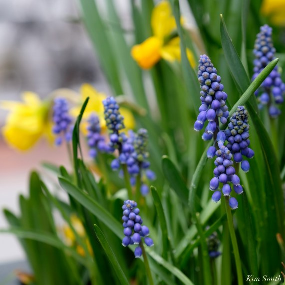 Daffodils Kendall Hotel Cambridge Massachusetts copyright Kim Smith - 09