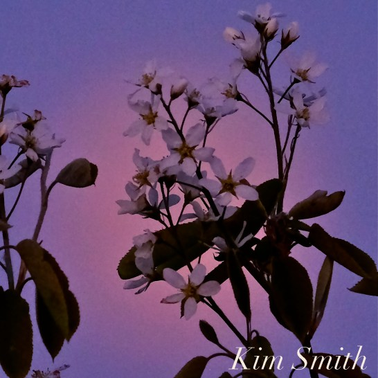 Full Flower Moon May Gloucester Massachusetts copyright Kim Smith