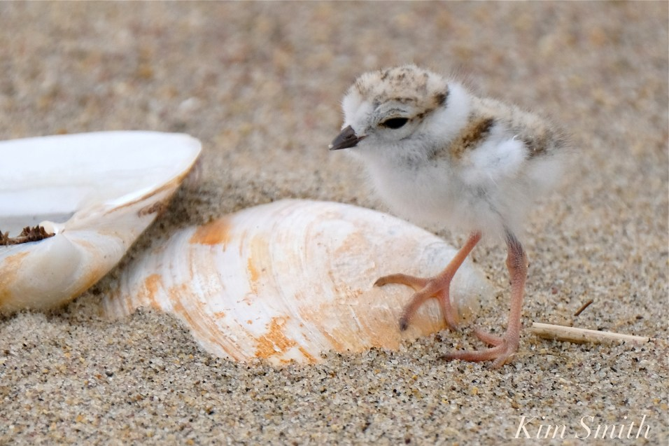 Hours-old Piping Plover Chicks copyright Kim Smith - 12