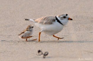Hours-old Piping Plover Chicks Gloucester MA copyright Kim Smith - 12