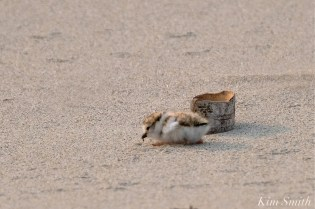 Hours-old Piping Plover Chicks Gloucester MA copyright Kim Smith - 15