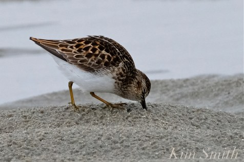 Least Sandpiper Good Harbor Beach copyright Kim Smith