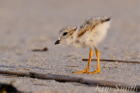 piping-plover-chick-nine-day-old-good-harbor-beach-gloucester-ma-copyright-kim-smith