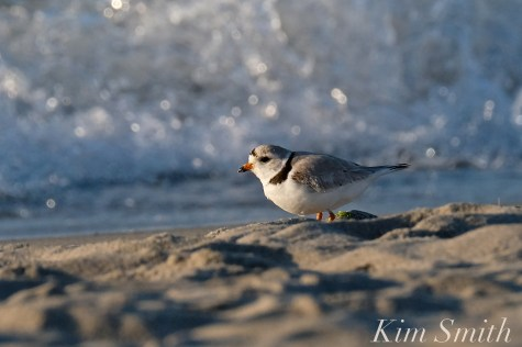 Piping Plover male foraging shorelineGood Harbor beach copyright Kim Smith