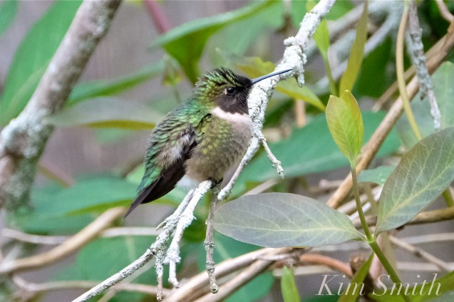 Ruby-throated Hummingbird Male Gloucester MA -22 copyright Kim Smith
