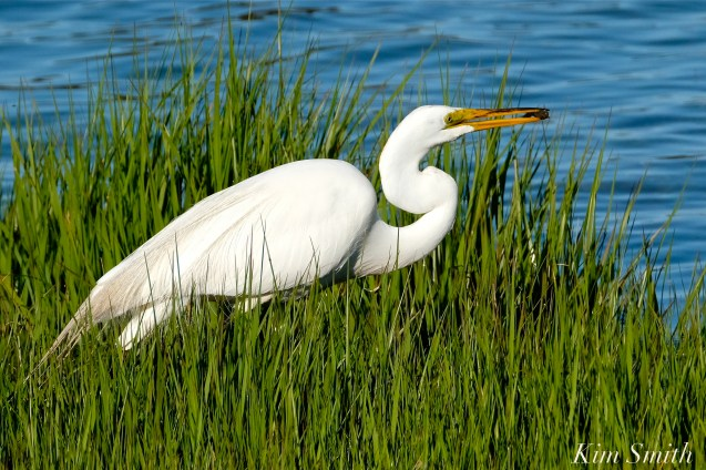 Great Egret GHB Gloucester MA copyright Kim Smith - 01