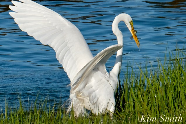 Great Egret GHB Gloucester MA copyright Kim Smith - 04