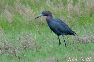 Little Blue Heron copyright Kim Smith