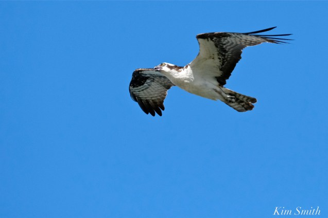 Osprey, Fish Hawk -2 copyright Kim Smith