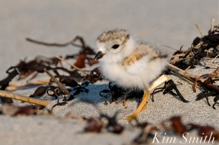 Piping Plover chick 10 days old Gloucester MA copyright Kim Smith - 22 copy